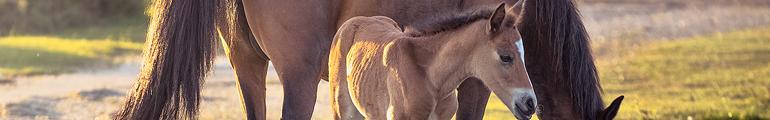 Fohlen und Pferd auf Wiese