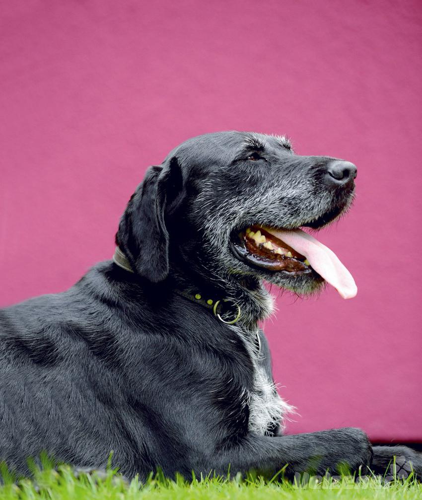 ein hund wird lter darauf sollten sie jetzt achten teil 2. Black Bedroom Furniture Sets. Home Design Ideas