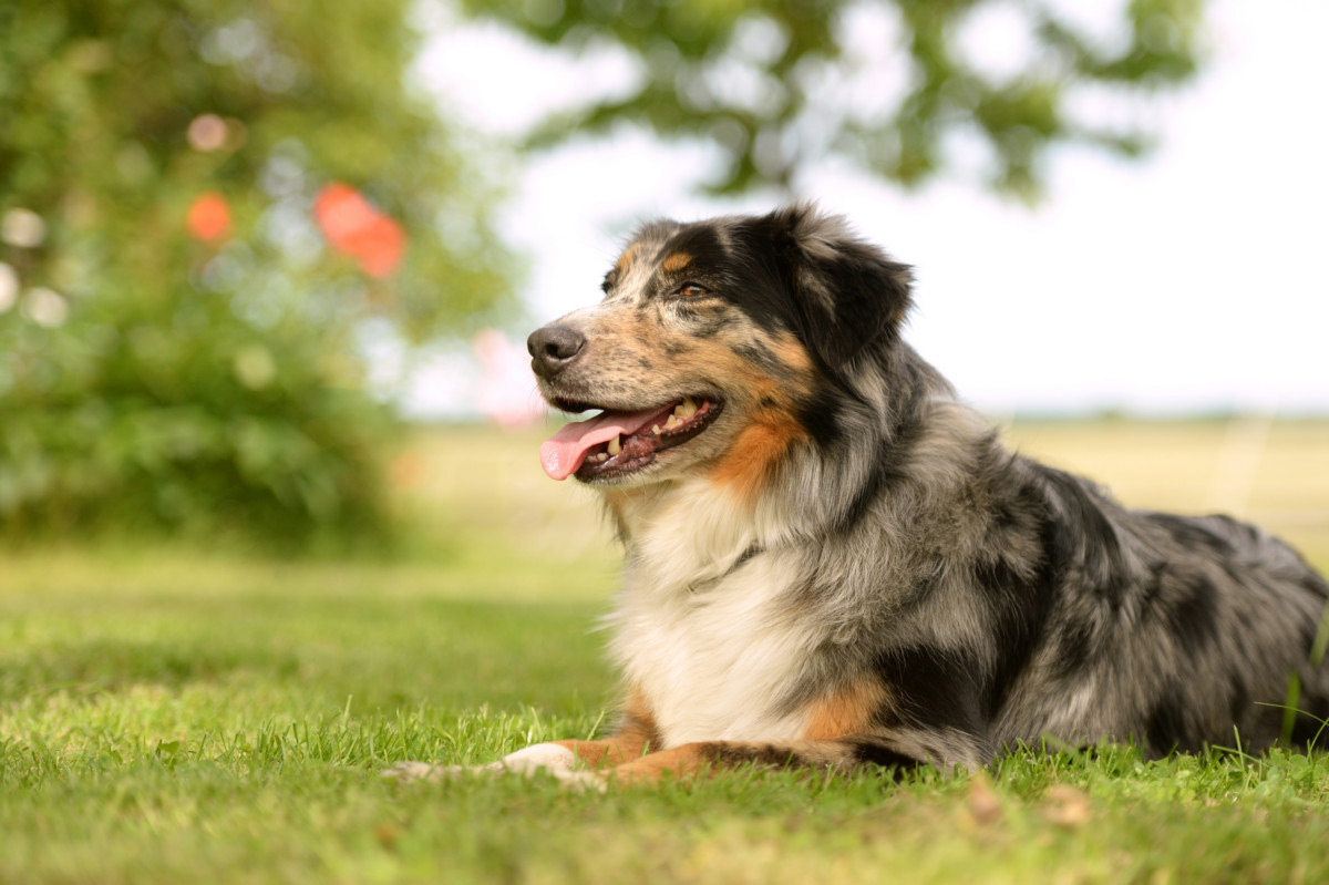 australian shepherd rasseportrait teil 5 uelzener versicherungen. Black Bedroom Furniture Sets. Home Design Ideas
