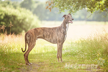 Greyhound - Rasseportrait Teil 14