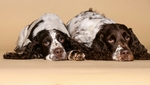English Springer Spaniel vom Westheimer Eck